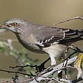 Mocking Bird With Ripe Hackberry by Tom Janca