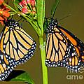 Monarch Butterflies by Millard H. Sharp