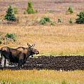 Moose  by Brandon Smith