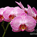 Moth Orchid by James Brunker