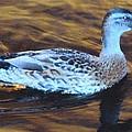 Mottled Duck by Robert Floyd