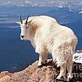 Mountain Goat On Mount Evans by Fred Stearns