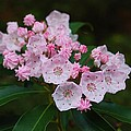 Mountain Laurel by Todd Hostetter