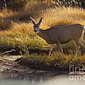 Mule Deer   #3950 by J L Woody Wooden