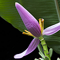 Musa Ornata - Pink Ornamental Banana Flower Hawaii by Sharon Mau