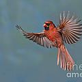 Northern Cardinal by Anthony Mercieca