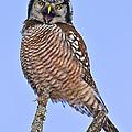 Northern Hawk Owl  by John Vose