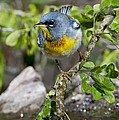 Northern Parula by Anthony Mercieca