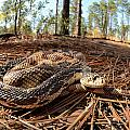 Northern Pine Snake by Eric Abernethy