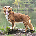 Nova Scotia Duck Tolling Retriever by John Daniels