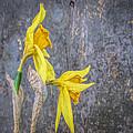 2 Old Daffodils by David Stone