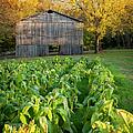 Old Tobacco Barn by Brian Jannsen