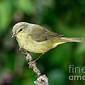Orange-crowned Warbler by Anthony Mercieca