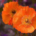 Orange Poppies by Rona Black