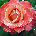 Orange Rose  by Ti Oakva