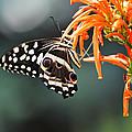 Orchard Swallowtail by Linda Kerkau
