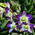 Orchid by Joyce Baldassarre