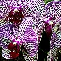 Orchid by Sandra Flickstein