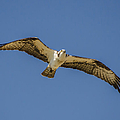Osprey In Flight Spreading His Wings by Dale Powell