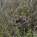 Osprey Taking Trout by Dennis Hammer