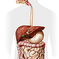 Overview Of The Digestive System by Qa International, Universal Images Group/science Photo Library