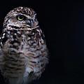 Owl  by Daniel Kocian