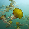 Pacific Sea Nettles Monterey Bay by Richard Herrmann
