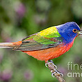 Painted Bunting by Anthony Mercieca