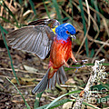 Painted Bunting Passerina Ciris by Anthony Mercieca