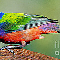 Painted Bunting Passerina Ciris by Millard H. Sharp