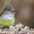 Pale-edged Flycatcher by Juan Jose Arango