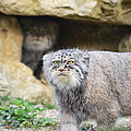 Pallas Cat by Alex Lyons