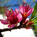 Peach Blossom by Nina Ficur Feenan