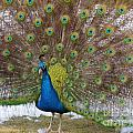 Peacock by J a Wood