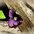 Peeking Violet by Ellen Cannon
