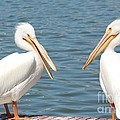 Pelican Pals by Carol Groenen
