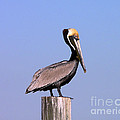 Pelican Perch by Al Powell Photography USA