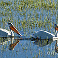 Pelicans In Hayden Valley by Sandra Bronstein