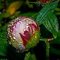 Peony With Rain Drops by Alex Grichenko