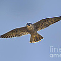 Peregrine Falcon Falco Peregrinus Wild California by Dave Welling