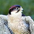 Peregrine Falcon by Mark Llewellyn