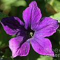 Petunia Hybrid From The Sparklers Mix by J McCombie