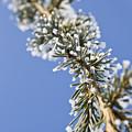 Pine Tree Branch by Dan Radi