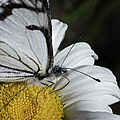 Pine White Butterfly by Betty Depee