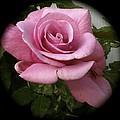 Pink Beauty by William Hallett