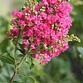 Pink Crepe Myrtle Flowers by Carol Groenen