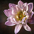Pink Dahlia 2 by Endre Balogh