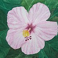 Pink Hibiscus by Patty Dopkin