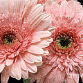 2 Pink Painterly Gerber Daisies by Andee Design