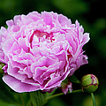 Pink Peony by Brian Jannsen